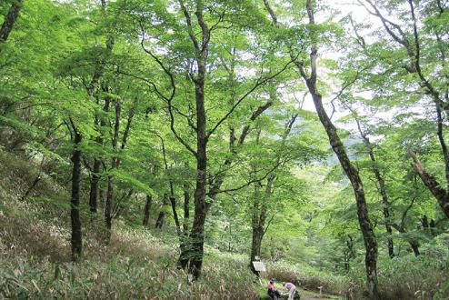 オオイタヤメイゲツの純林