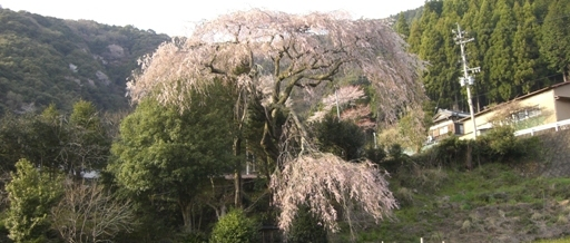 [more] ⑦05-008-06 weeping cherry tree. JPG
