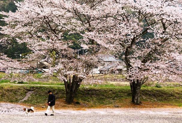 다리 구보 제방의 벚꽃.jpg