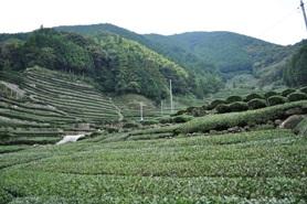 腳久保茶葉種植園1-1.JPG