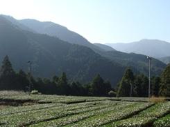 腳久保茶葉種植園3-1.JPG