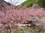 We admire bamboo shoot picking & cherry blossoms in spring Oku-Shimizu