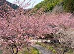 在春天的奥清水观赏竹笋狩猎&樱花