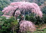 We enjoy tea and hot spring in father of Shizuoka tea, the Seiichi Most Reverend Priest birth place Okawa