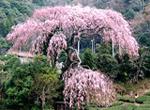 在静冈茶的祖,圣一国家师诞生地大川享受茶和温泉
