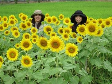●桂山向日葵旱田0810-2.JPG