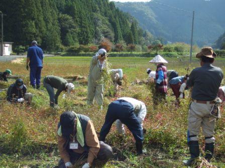 大川擀荞麦面经验(收获)2012-1.jpg