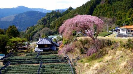 도치자와 수양 벚나무 3월 29일(webver) .jpg