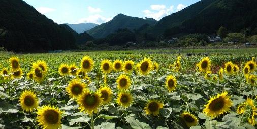 桂山ひまわり畑.JPG