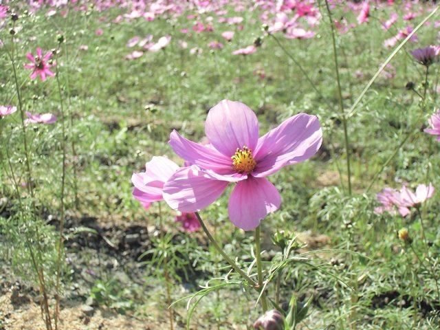 桂山波斯菊2.jpg