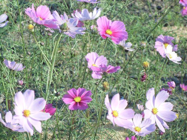 桂山波斯菊3.jpg