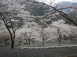벚꽃 1.JPG