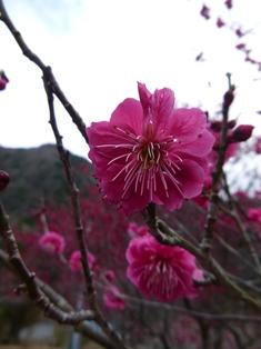 우메가시마 콘야 매화나무 정원 1.JPG