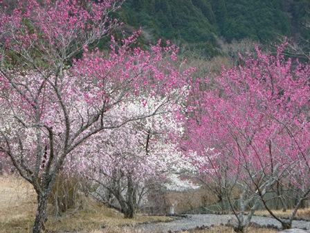 우메가시마 콘야 매화나무 정원 2.JPG
