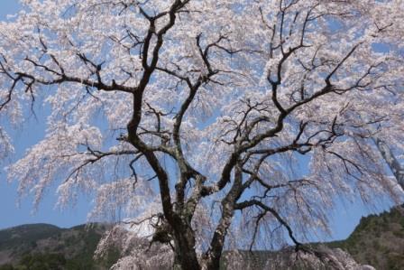 우메가시마 벚꽃 ① .jpg