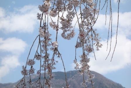 우메가시마 벚꽃 ② .jpg