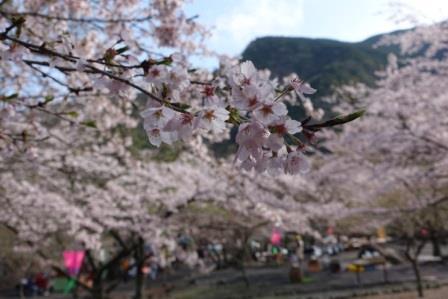 우메가시마 벚꽃 ③ .jpg
