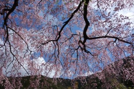 우메가시마 벚꽃 ⑤ .jpg