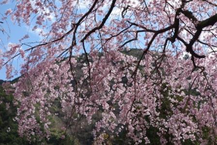 우메가시마 벚꽃 ⑥ .jpg