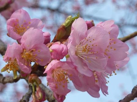 시미즈 삼림공원 가와즈 벚꽃 20130313-1 .JPG
