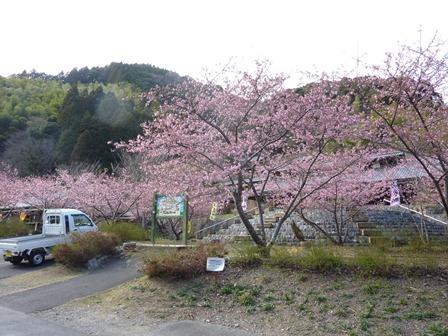 시미즈 삼림공원 가와즈 벚꽃 20130313-2 .JPG