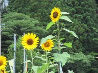 黄金的热水向日葵2.JPG