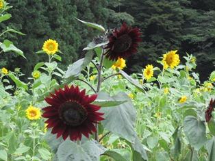 黑色的向日葵1.JPG