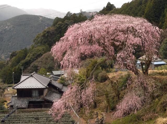 20150401栃沢枝垂桜.jpg