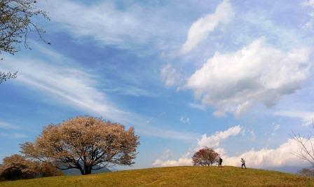 2016. 4.11 고산 산벚나무 web.jpg