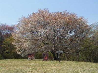 yamazakura 1.JPG