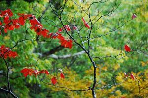 巨木の森紅葉.JPG