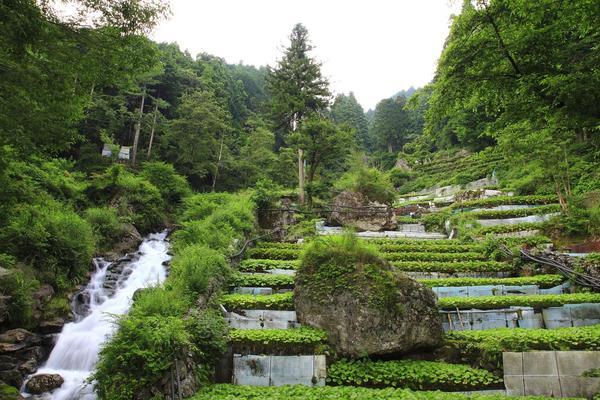 Utogi wasabi field. JPG