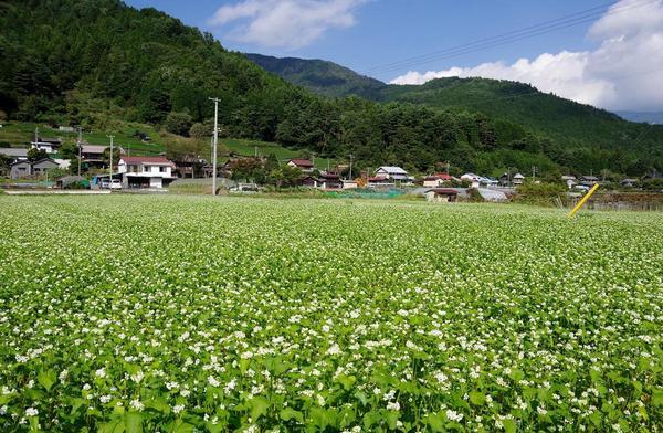 井川のそば畑イメージ.JPG