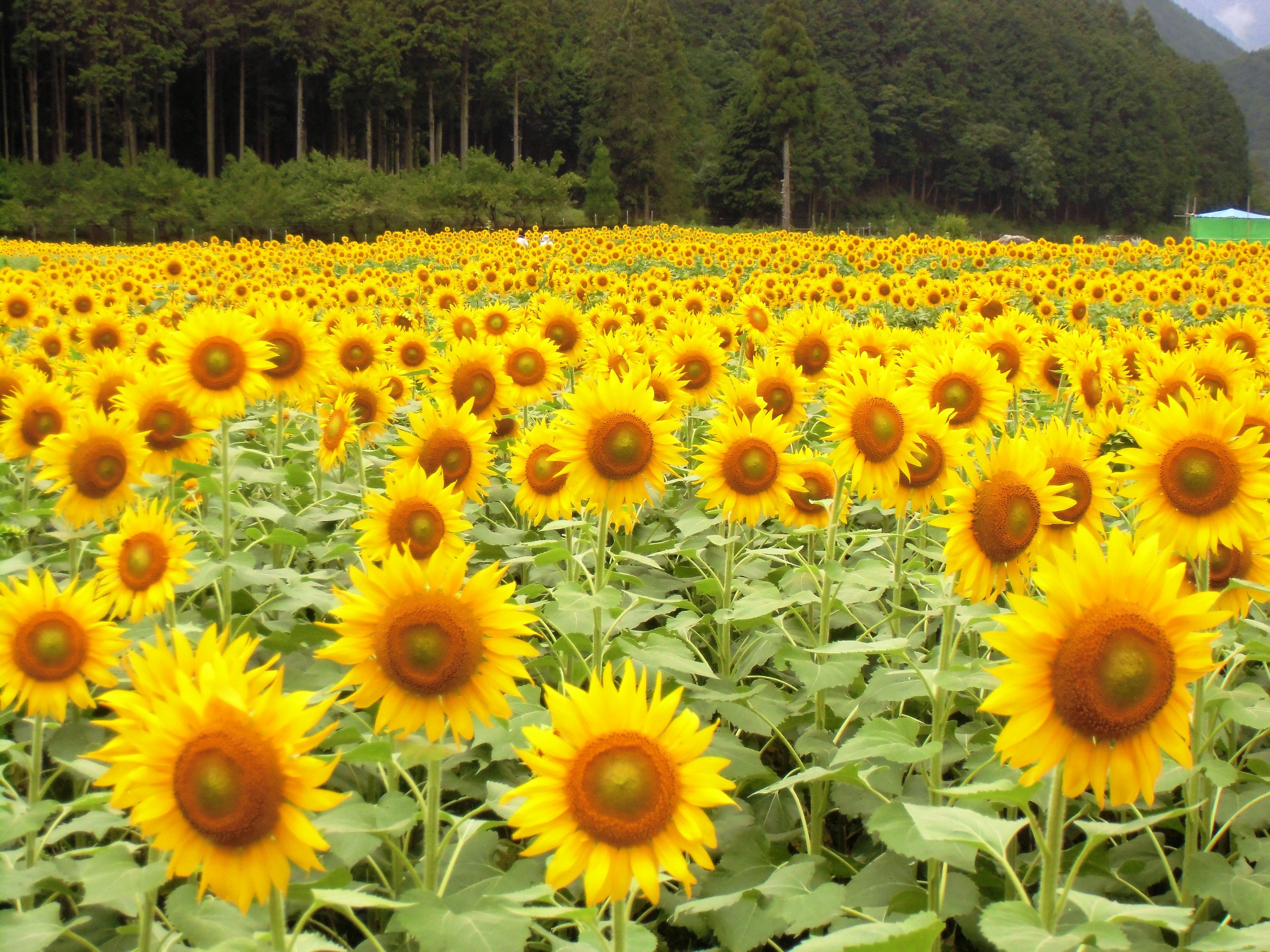桂山 ひまわり畑