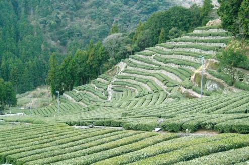 足久保の棚茶畑