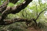 日本で育つ南限のジゾウカンバ