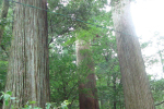 白髭神社の大杉