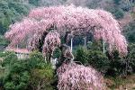 栃沢の枝垂れ桜
